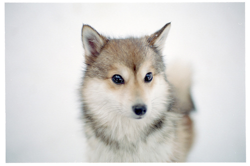 animals, cute, dog, dogs, fox, furry