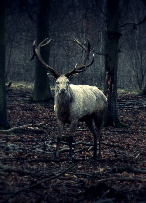 antlers, deep, deer, forest, nature