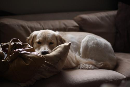 bag, brown, dog, home, sofa, white