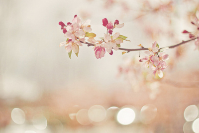 beautiful, beauty, blossom, cherry, flower, photography, pink, sakura, spring