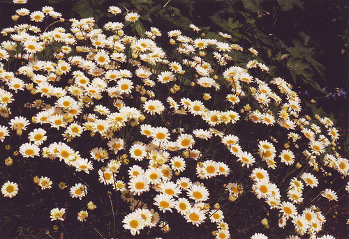 beautiful, cute, daisies, flowers, nature