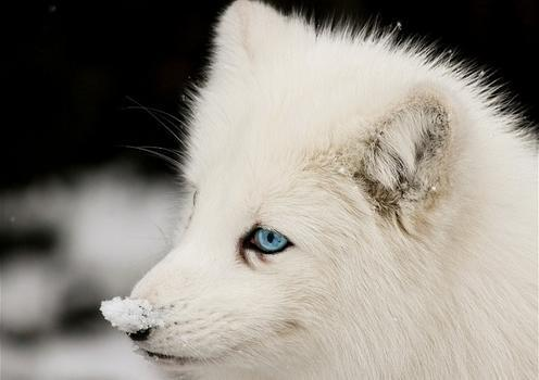 Cute white wolf pup with blue eyes - photo#1