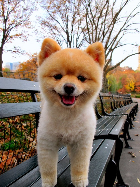 bench, cute, dog, pomeranian, puppy