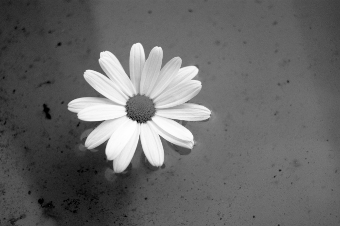 black & white, cute, daisy, flower, love