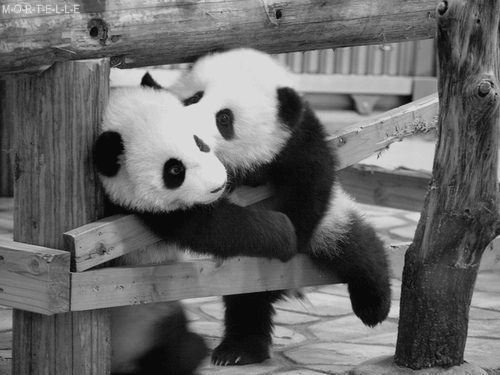 black and white, eu e vc amr *-*, love, panda, panda cute