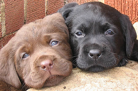 black, chocolate, labrador, puppies