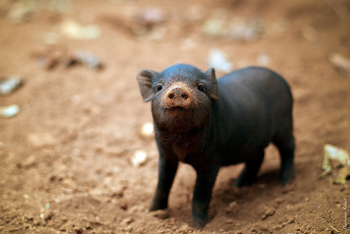black, cute, farm, pig, pink