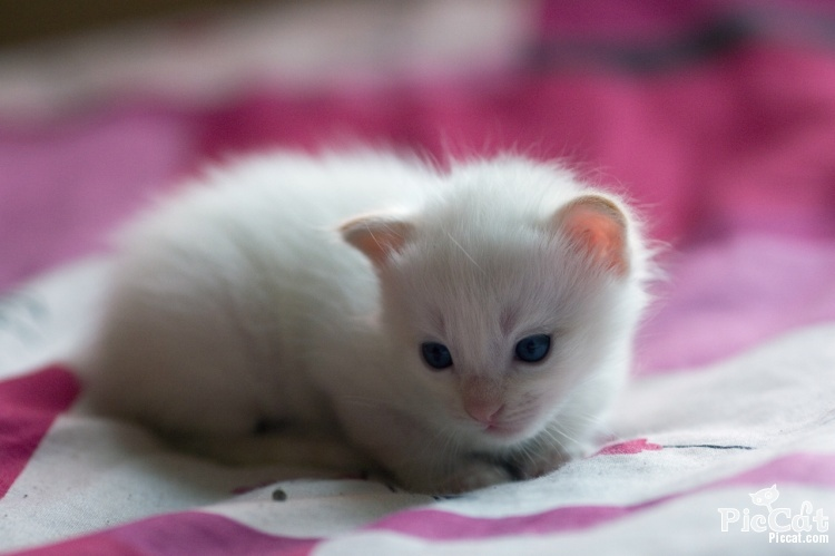 blue-eyes-cute-white-cat-Favim com-335079 jpgCute White Cat Blue Eyes