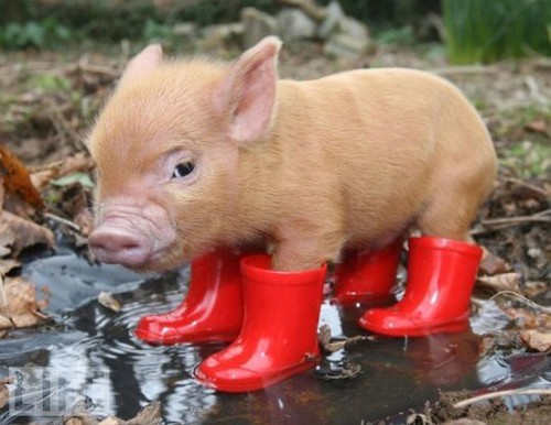 boots, cute, pig, red