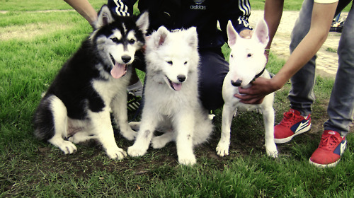 bull terrier, cute, dogs, husky, samoyed