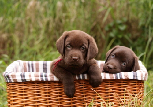 chocolate, dog, labrador, puppy
