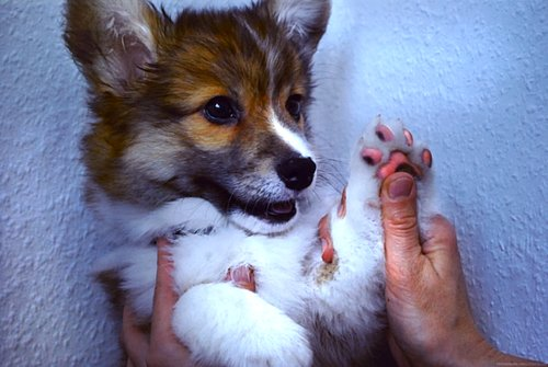 corgi, cute, dog, paws, puppy
