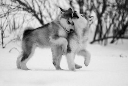 cute, dogs, husky, puppies, puppy