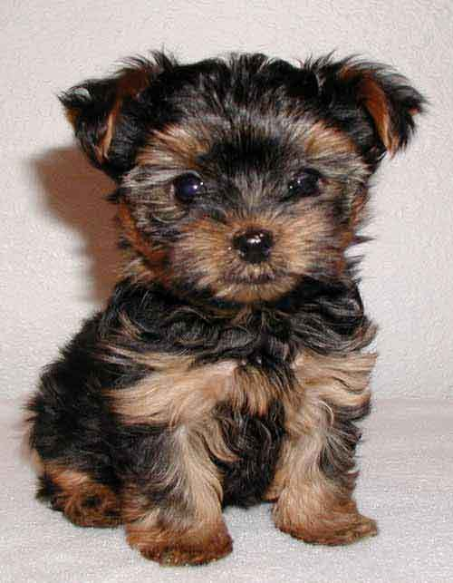 cute, puppy, terrier, yorkshire