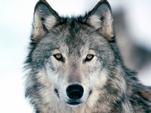 photography, wolf, wolves