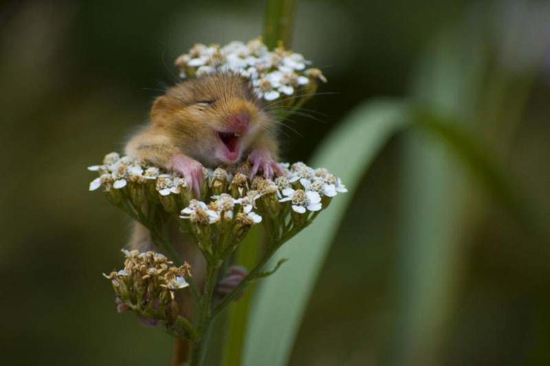 adorable, aww yeah flowers!, field mouse, flowers, hamster