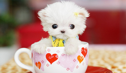 adorable, cup, cute, dog, ears