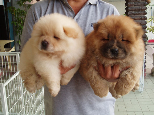 adorable, cute, dogs, fluffy