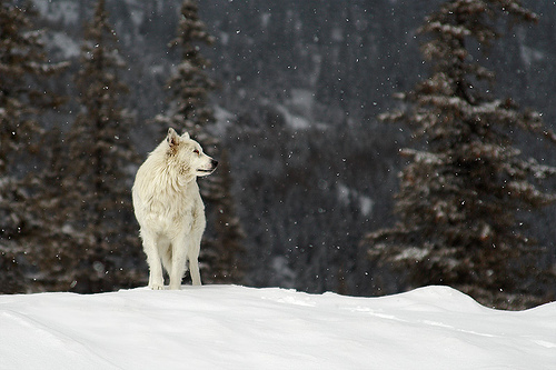 albino, animal, cold, ice, nature