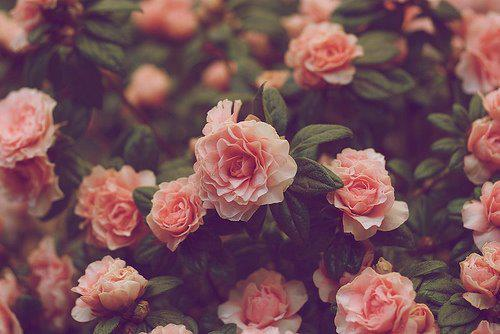 amazing, beultiful, cute, delicated, floral, flowers, gardem, natural, pink