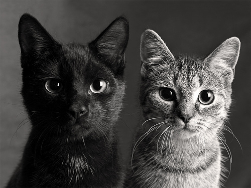 animal, animals, black and white, cat, cats