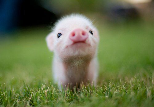 animal, baby, baby pig, cute, pig, piglet