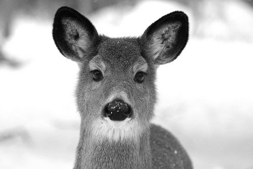 animal, black and white, cute, deer