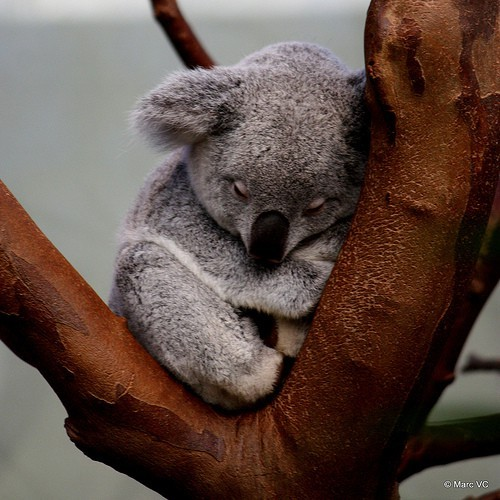 animals, cute, koala bear, love, nature