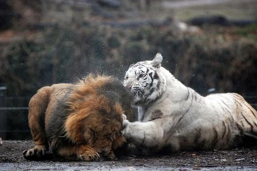 animals, friends, lion, photography, tiger