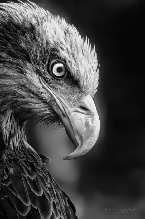 b&amp;w, beak, bird, black and white, eagle