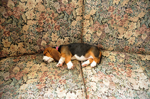 bassett hound, beagle, dog, puppy, sleeping