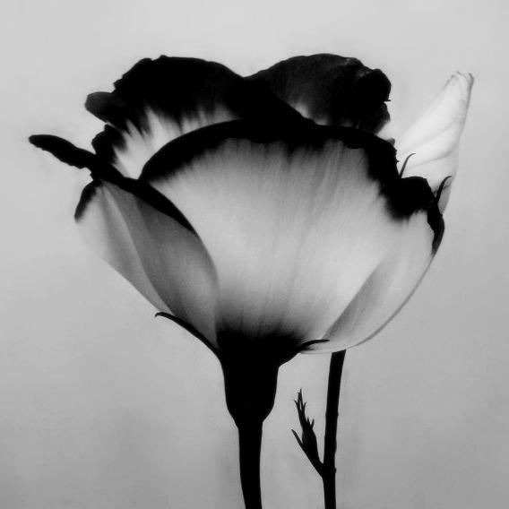 black and white flower photography image 347240 on