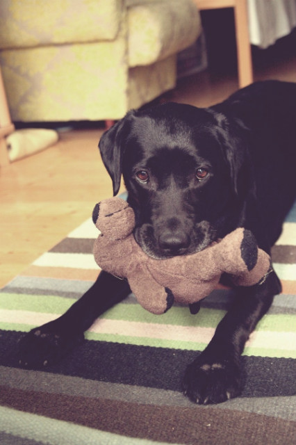 black dog, brown eyes, dog, dog toy, doggy
