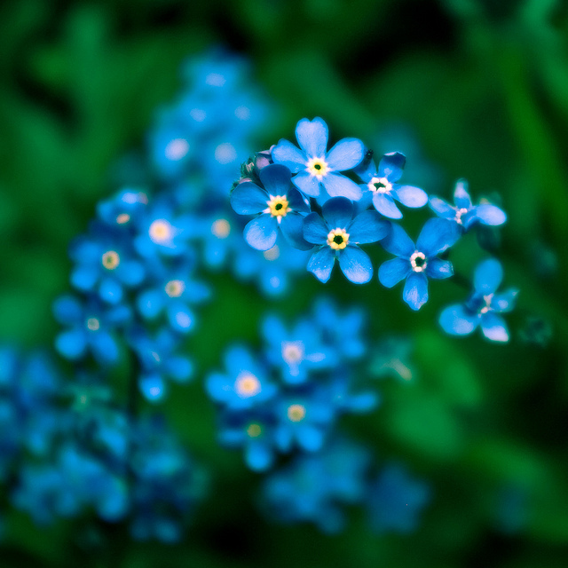 blue, bokeh, flowers and forget-me-nots