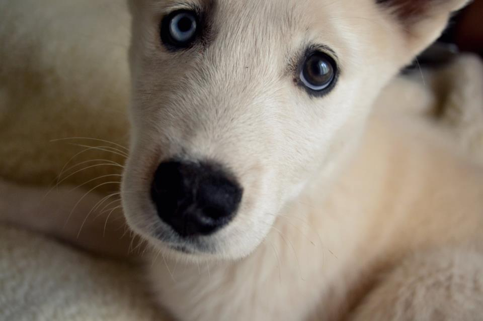 blue, brown, cute, dog, eyes