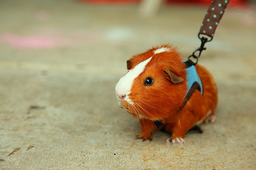 body harness, cute, cutest, guinea pig, lovely, sweet