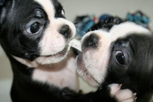 boston terriers, dogs, fight, puppies
