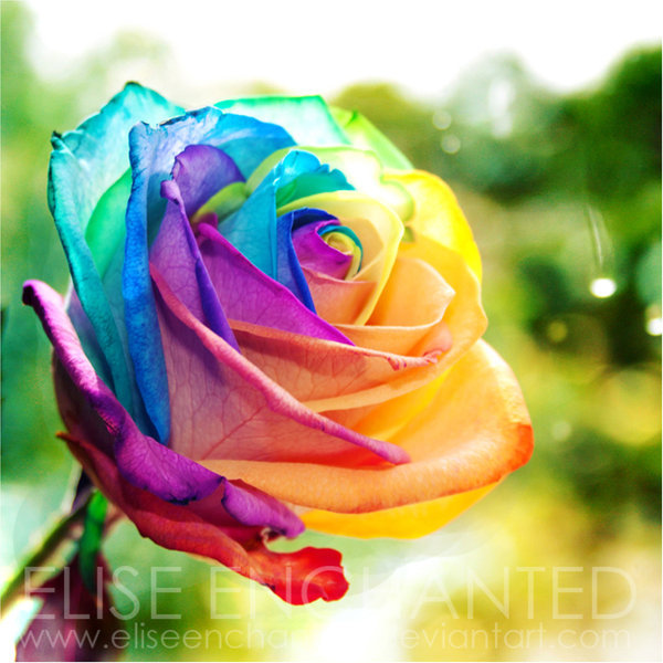 Color photography rainbow rose image 345651 on for Rainbow colored rose