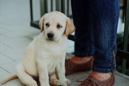 cute, dog, labrador, puppy