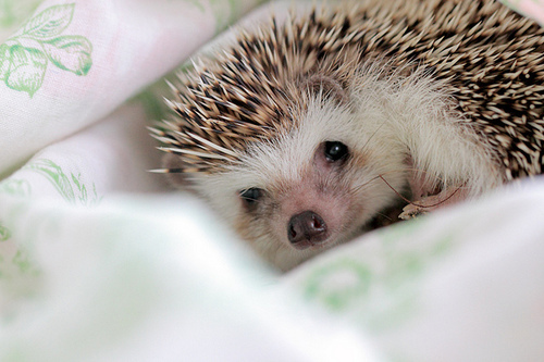 cute, hedgehog, photography