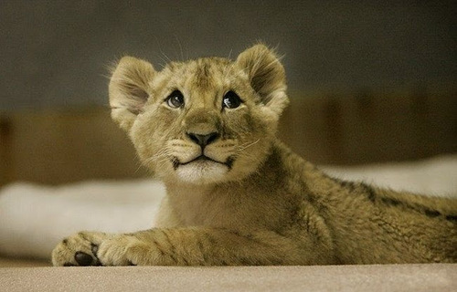 adorable, animal, animals, cute, lion
