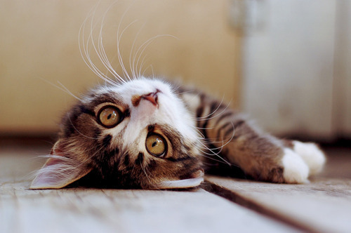 adorable, animal, cat, ears, eyes, kitten, kitty <3, nose, paws, photography, stripes, whisers