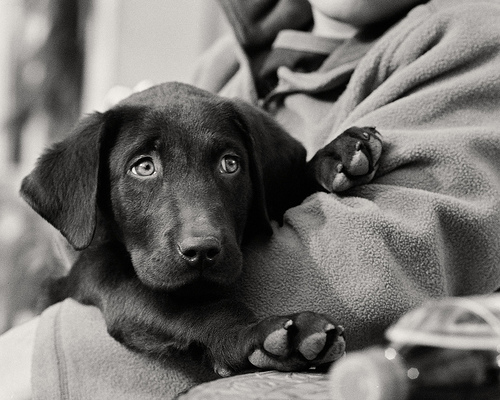 adorable, animlas, black and white, cute, dog