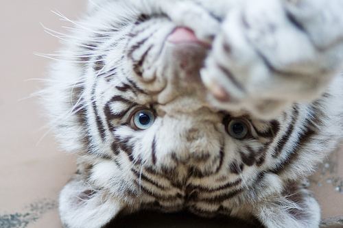 albino, animal, baby, cute, photo, photography, tiger