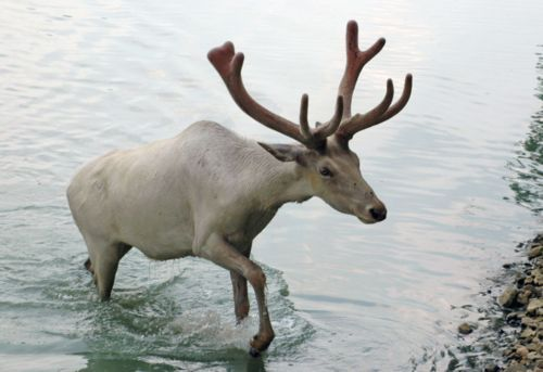 animal, animals, antlers, bathing, ocean, reindeer, sea, swimming, water