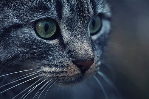 animal, animals, beautiful, blue, cat