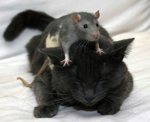 animal, animals, cat, cute, pets, rat
