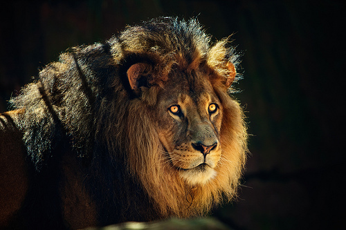 animal, art, beautiful, cat, cool, hipster, indie, lion, photo, photography, wild