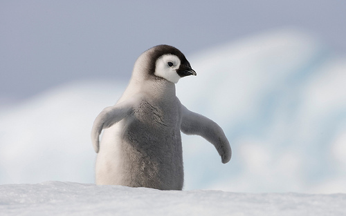 animal, beautiful, cool, cute, penguin