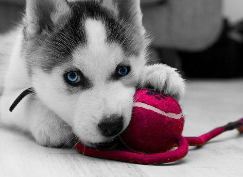 animal, black and white, blue eyes, cuddly, cute